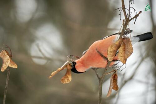 Красавцы снегири в объективе нашего фотографа Александр Петухов